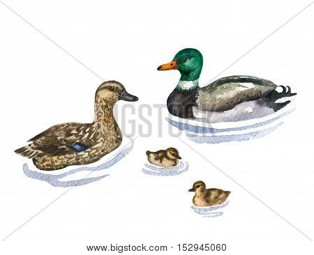 Raster watercolor cute illustration of a duck family on water. Image for biological and ornithological books, magazines and atlases, picture for domestic birds' goods and food.