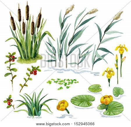 Raster colorful watercolor set of some wetland plants isolated on white. Illustration for botanical and biological sources, book and magazine image, decoration of open spaces and places nearby water.