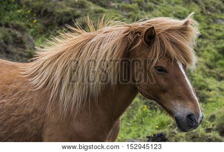 Icelandic Horse with great manes on a meadow on Iceland.