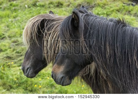 Two Icelandic Horses on a meadow on Iceland.