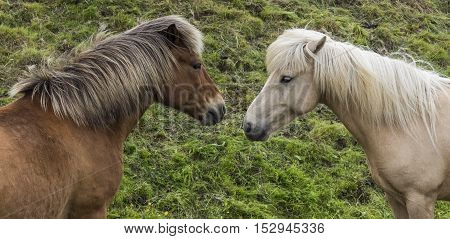 Two Icelandic Horses looking at each other on a meadow on Iceland.
