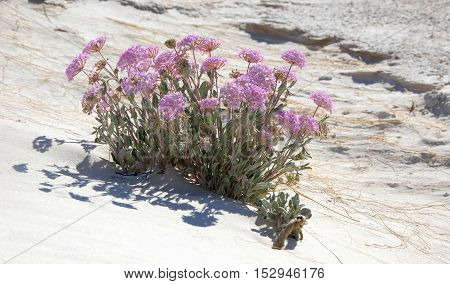 Gypsum verbena, a hardy plant that thrives on an unusual mineral soil.