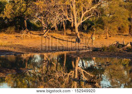 Giraffe Walking Towards Waterhole At Sunset. Wildlife Safari In The Mapungubwe National Park, South