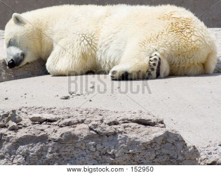 Polar Bear Snoozing On Rocks