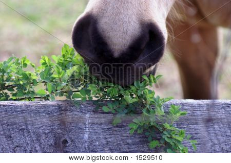 Horse Eating Tree Branch