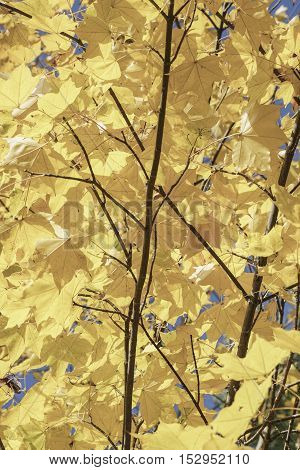 yellow autumn leaves on tree against blue sky