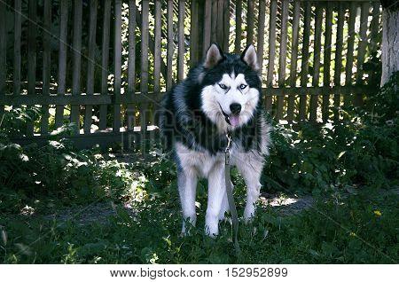 husky, dog, siberian, wolf, white, blue, fur, nature, beautiful, color, face, brown, green, wild, eyes, alert, canine, background, bright, female, grass, yard, siberia, alaskan, animal, handsome, cute, pethusky, dog, siberian, wolf, white, blue, fur, natu