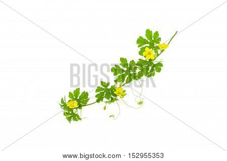 Green leaves with yellow flower isolated on white background