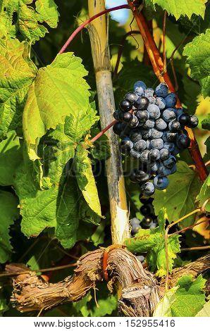 Blue grape growing on vine before harvest; vineyard in autumn
