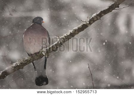 a common wood pigeon sitting in the snow