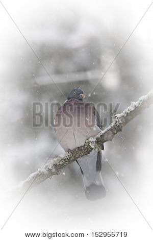 a common wood pigeon sitting in a tree