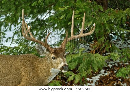 10 Point Buck Mule Deer
