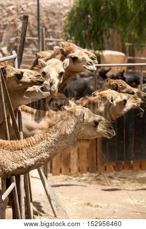 The herd of Camels on the farm