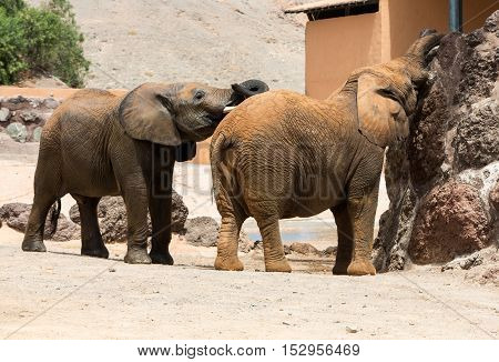 Two African Elephant bulls play fighting in safari park