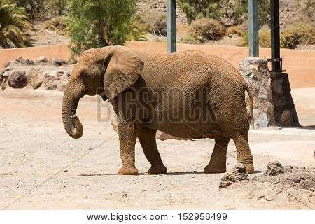 One Elephant in a safari park in Spain
