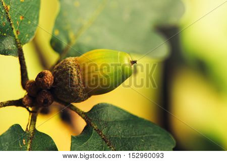 Oak tree acorn nut on the branch selective focus