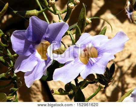 Two flowers of Thunbergia Grandiflora in Or Yehuda