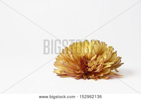 Orange chrysanthemum flower closeup on a white background.