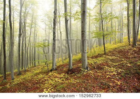 Autumn beech forest in the fog. Poland.