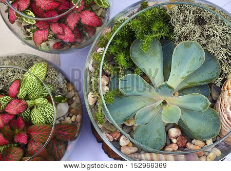 Decorative glass vases with succulent and cactus plants. Glass interior terrarium with succulents and cactuses.Miniature garden in glass with cactuses and succulents.Top view.