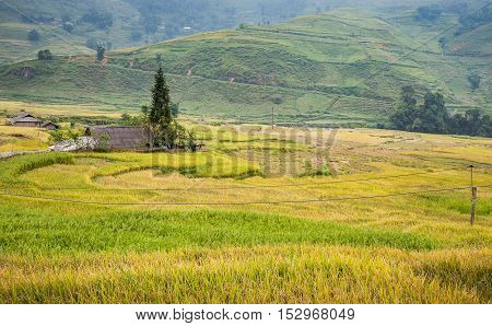 Green and yellow rice terraces surrounded by mountain at Lao Chai village of Sa Pa Vietnam