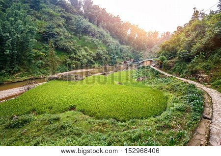 Green rice field terrace near river surrounded by forest and mountain. Rim light from sunlight on top of tree from bright sky.