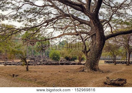 Old tree of Angkor Wat temple Siem Reap Cambodia. An emergent tropical rainforest tree species in the Fabaceae family.
