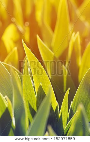 bright green leaves of the iris are bathed in yellow grow in the spring