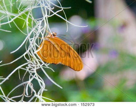 Orange Butterfly Clings To A White Vine