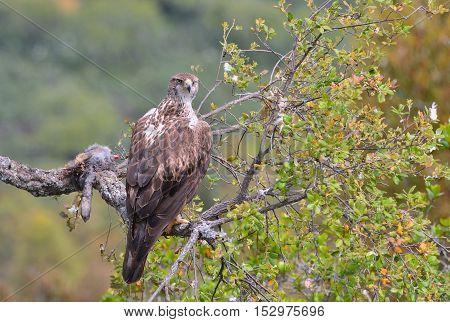 Female Bonelli's Eagle Perched On A Branch.