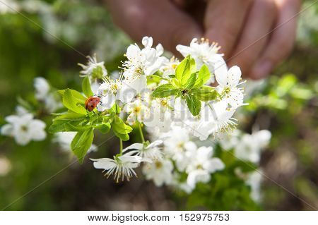 Spring blossoming of cherry. The hand holds a branch of the blossoming cherry. Ladybug on the blossoming cherry branch close up.