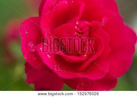 Pink rose. Water drops on rose-petals close up. Rose and water drops closeup.