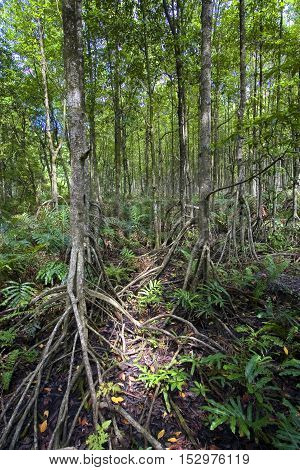 Mangrove Forest showing impressive roots groving into a marsh Malaysia
