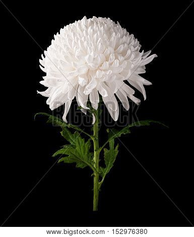 Chrysanthemum white flower side view isolated on black