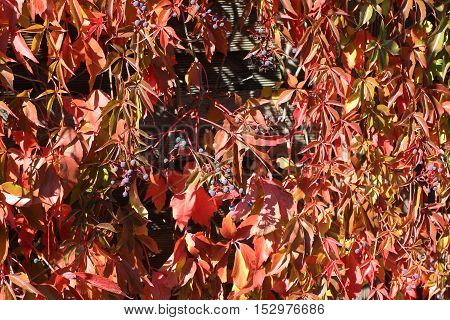 Background / Beautiful autumn leaves of wild grapes