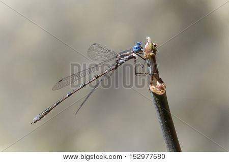 A blue damselfly on a small twig