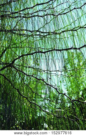 Sheets of a willow falling limply in summer.
