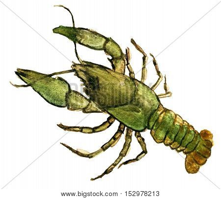 watercolor sketch of crayfish animal on white background