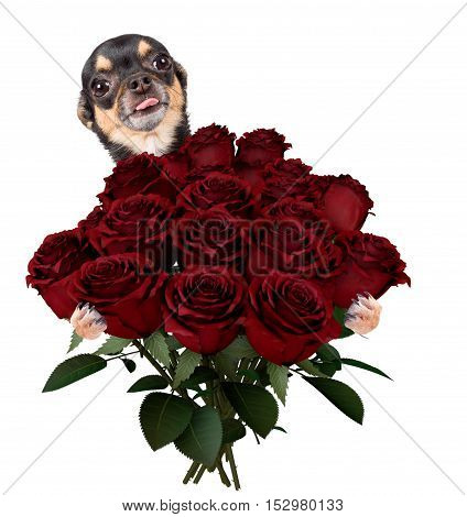 Cute lovely chihuahua dog give a bunch of roses for valentine day