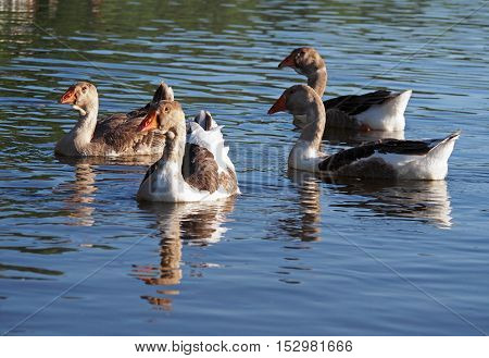Group of young grey domestic geese float down the river