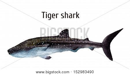 Watercolor sea tiger shark. Requiem shark isolated on white background. For design, prints, background, t-shirt.