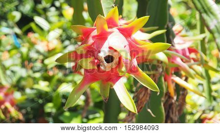 Bottom view Dragon fruit English Asians but for different countries in Europe say Pitaya garden at Sawankalok Sukhothai province Thailand Asia Macro photo background blur.
