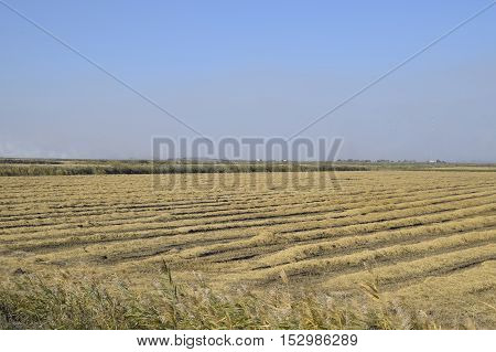 Harvesting Rice In The Fields. Beveled Rice In Field
