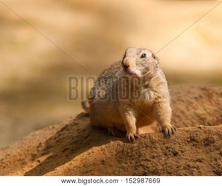 Black-tailed prairie dog keep watched on the burrow - Cynomys ludovicianus