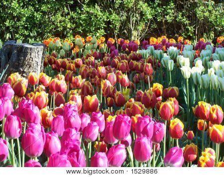 Colorful Tulips Near Stump
