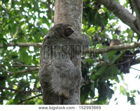 Sloth climbing up a tree in the rain forest in Manuel Antonio.