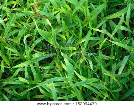 texture of the open lawn in the garden grass