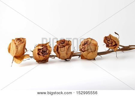 the five dried roses on white background