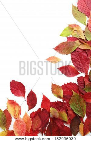 Autumn Leafs Isolated On White Background
