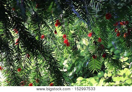 Red berries growing on evergreen yew tree branches European yew (taxus baccata) tree